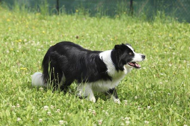 The border collie may be the smartest of all domestic dogs.