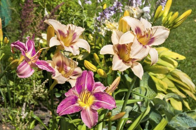 Various colors of daylilies in garden♦
