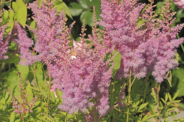 False spirea can be the focus of a perennial container.