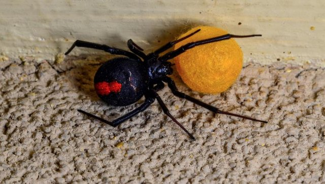 black widow oregon