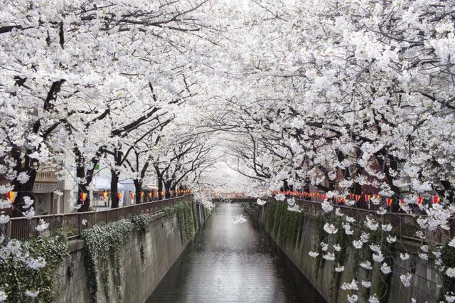 Japanese cherry trees in the spring.