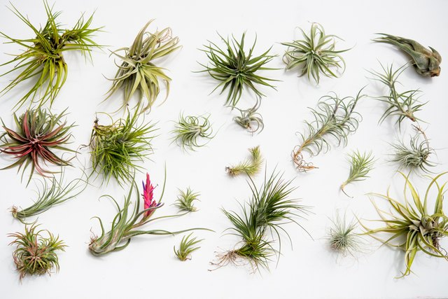 Air Plant Care 101 | eHow