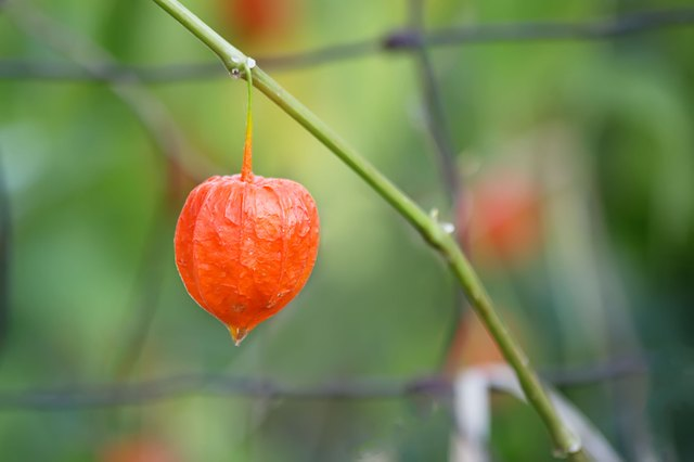 How to Care for a Chinese Lantern Plant