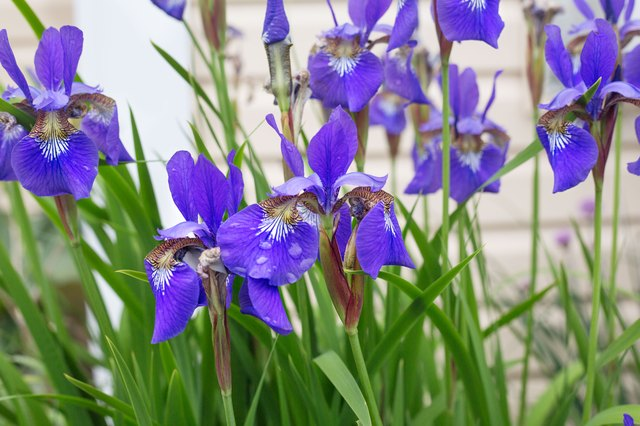 How to Plant Iris Seeds