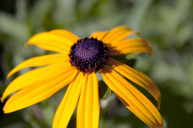 How to Care for Black-Eyed Susan Perennials in Fall