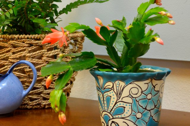 christmas cactus cuttings how to grow roots in water ehow. Black Bedroom Furniture Sets. Home Design Ideas