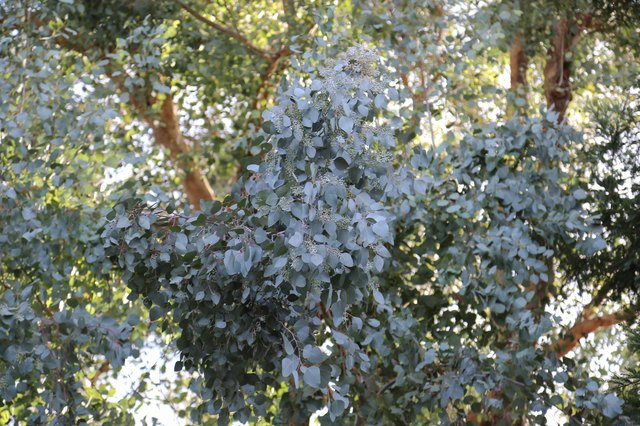 How to Preserve Eucalyptus Leaves for Dried Floral Arrangements