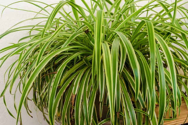 How to Transplant Spider Plant Cuttings