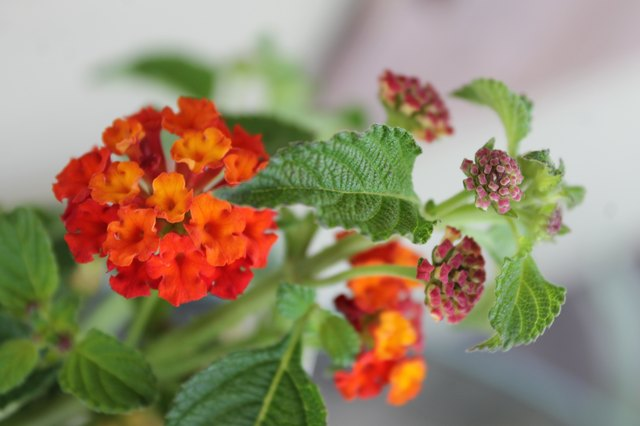 How to Plant Lantana From Cuttings