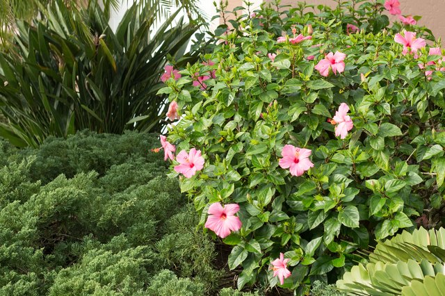 How to Trim a Hibiscus Tree