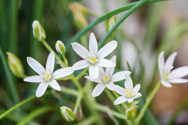 How to Grow Star of Bethlehem Flowers