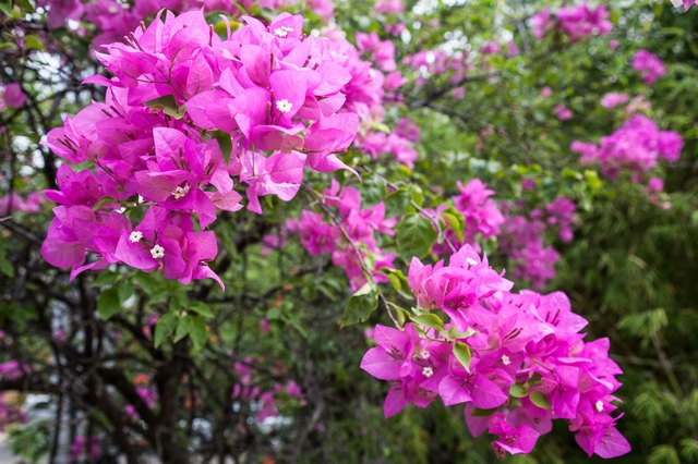 How to Grow Colorful Bougainvillea