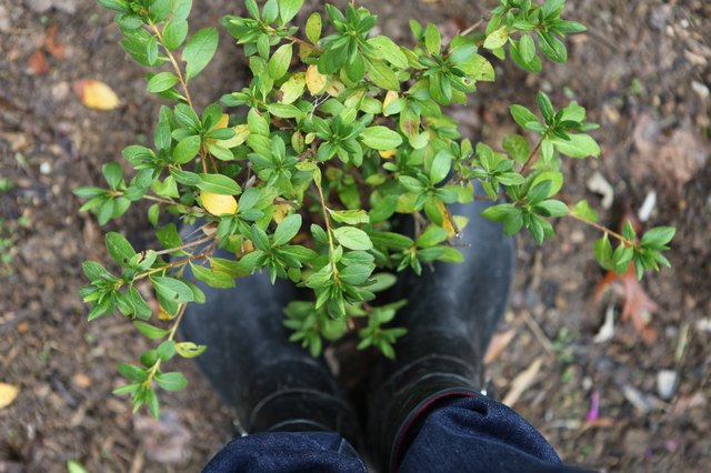 How To Care For A Potted Azalea With Pictures Ehow