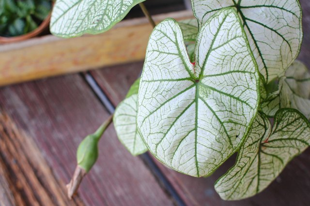 How to Grow a Taro Plant at Home