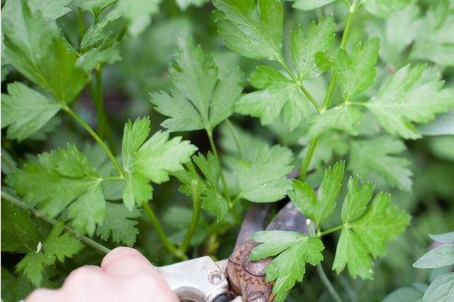 How to Grow Parsley From Cuttings