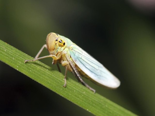 A close-up of a leafhopper on a plant stem.