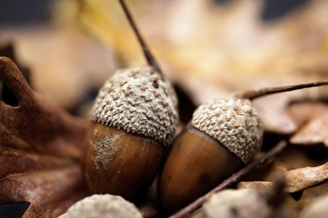 Acorns lay on the forest floor.