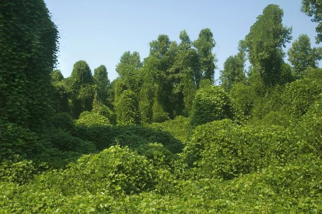 Kudzu taking over a forest.
