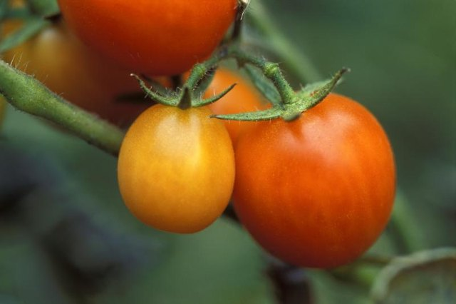 Tomatoes ripen on a vine.