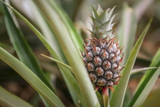 A pineapple growing on a farm.