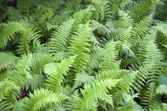 Wild ferns grow in a forest.