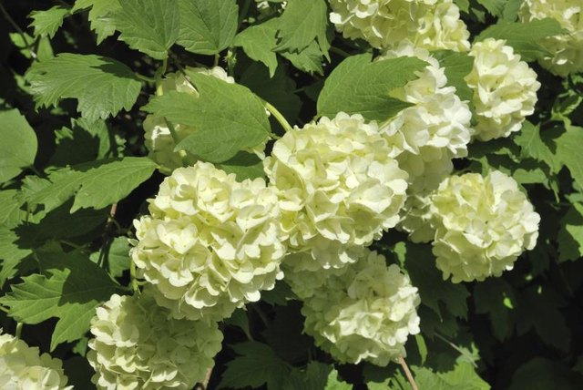 Care Of A Snowball Bush With Pictures Ehow