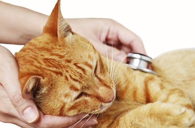 A veterinary examination is necessary to determine what bacteria is infecting your cat.