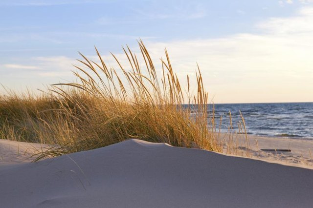 Beach grasses turning brown on a dune before the fall season.