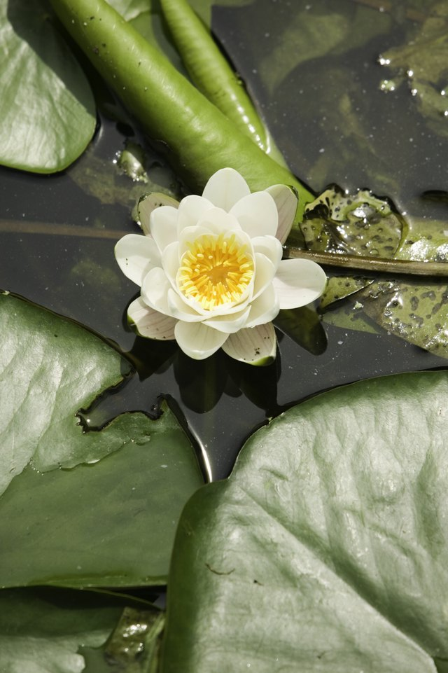Water lillies are a true lily.