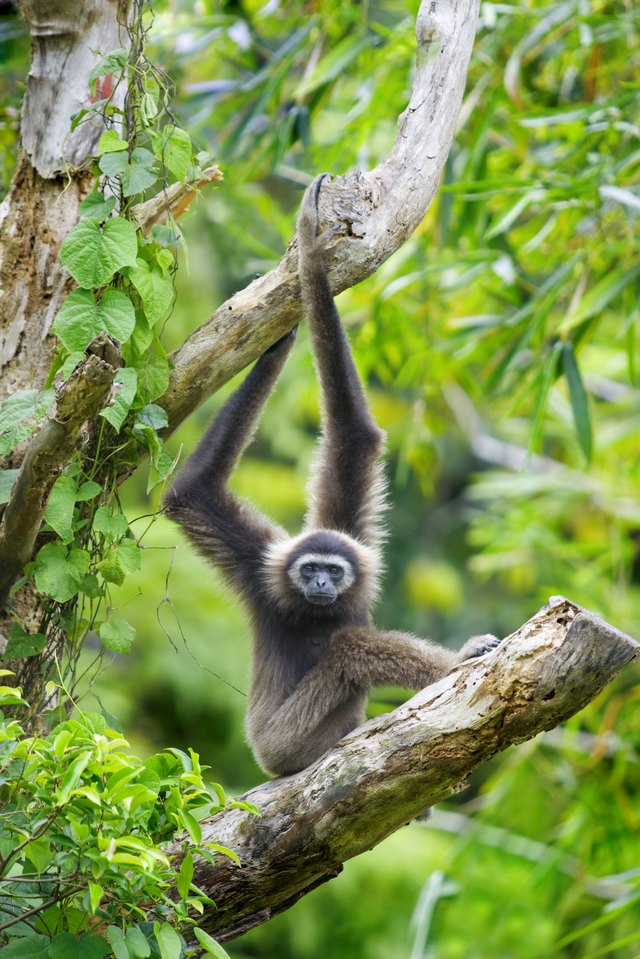 A Gibbon monkey hangs from a tree in a tropical rainforest.