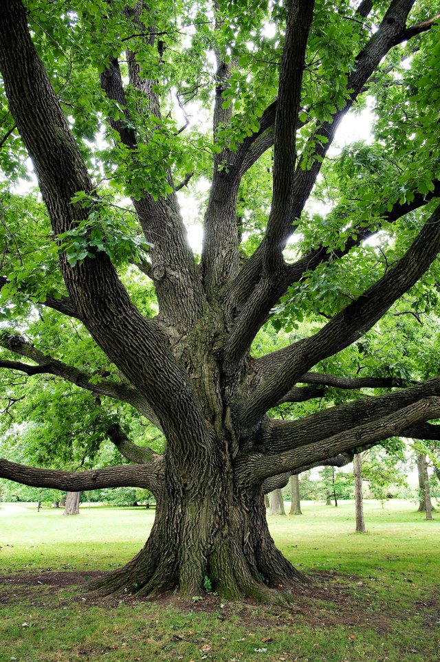Facts about white oak trees with pictures ehow