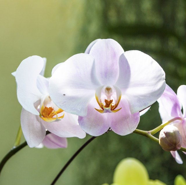 Orchid Flower Orchids Photo Wallpaper For Your Desktop White Light Yellow 02273 Large Size