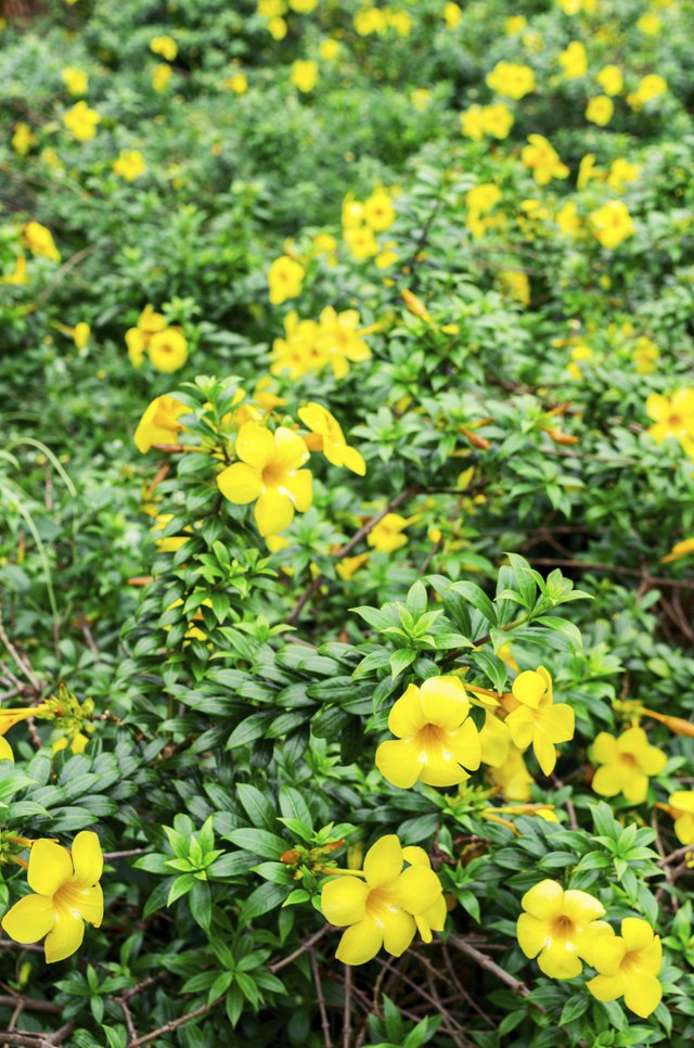 yellow bell flower plant