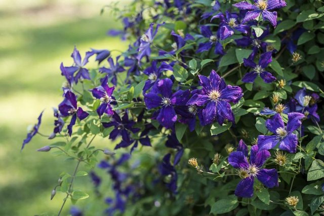 Fast Growing Evergreen Vines With Pictures Ehow