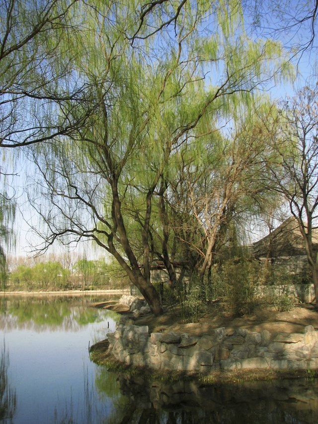 Corkscrew willows grow along a river in front of a residence in Bejing.