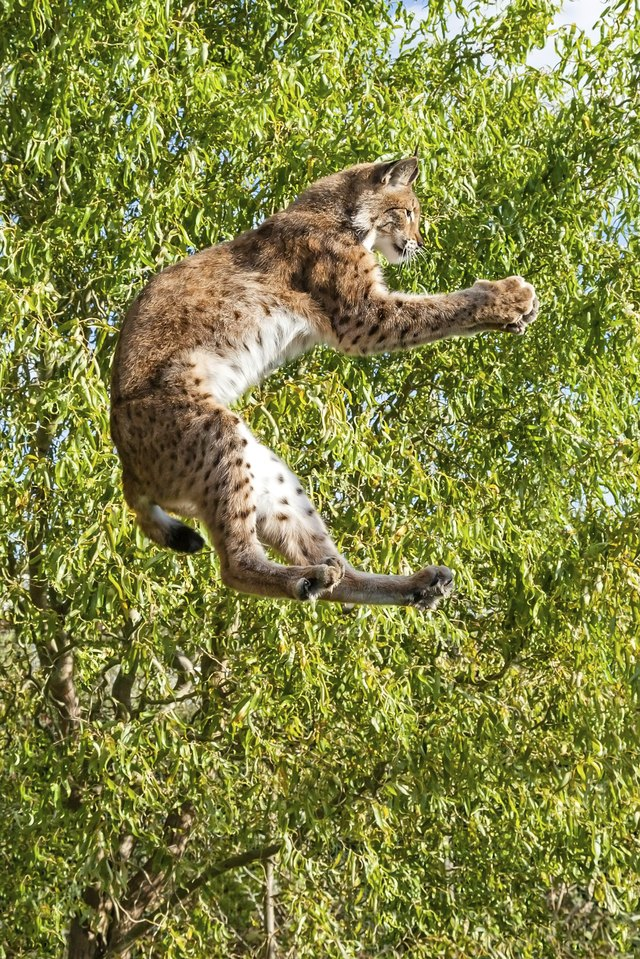 A bobcat leaps from a tree and catches small prey in its paws.