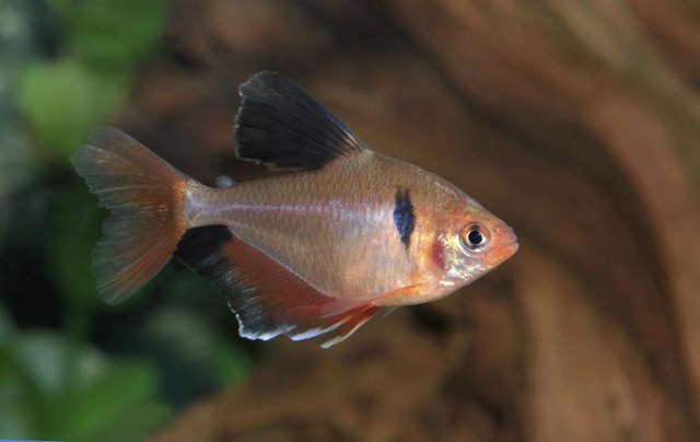 Glow Neon Tetras Glow Tetra Fish