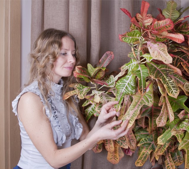 A woman tends to a large indoor croton plant.