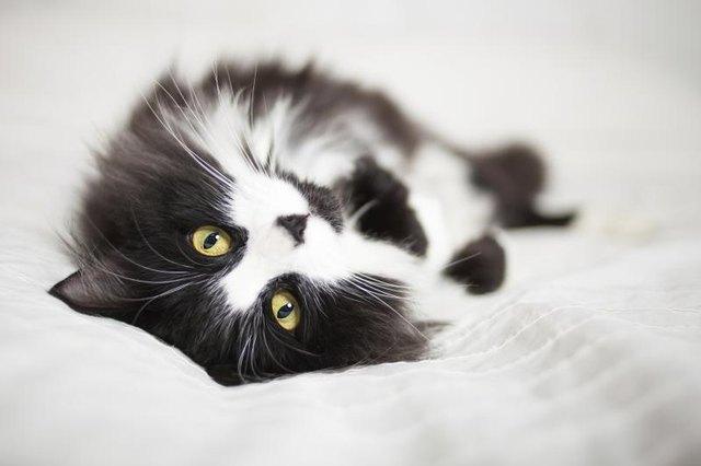 Black & White Cat Breeds