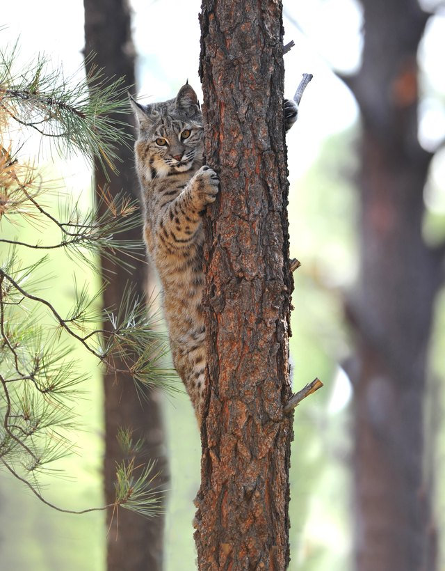 A bobcat climbs a tree in a North American pine forest.