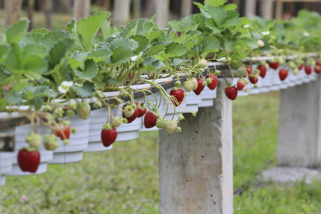 Everbearing strawberries grow well in containers.