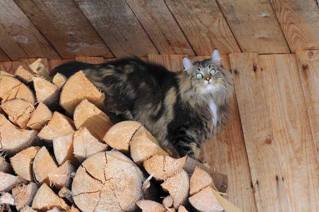 A Norwegian forest cat on the log pile in a shed.