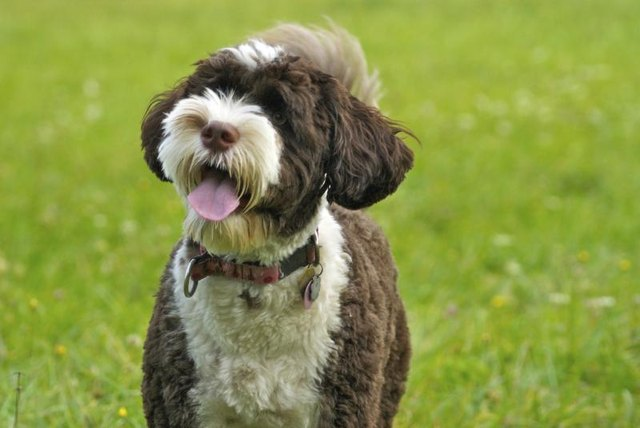 Best Non-Shedding Dog Breeds for Allergies & Asthma | eHow