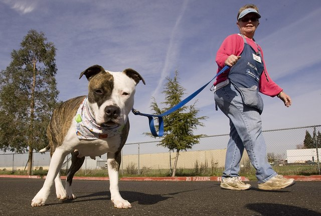 A Staffordshire Terrier goes for a walk in Sacramento California.