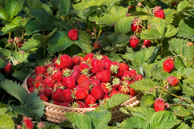 Pick the sweetest strawberries from your own garden.