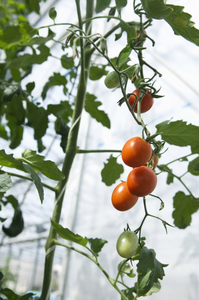 Tomatoes growing inside of a greenhouse.