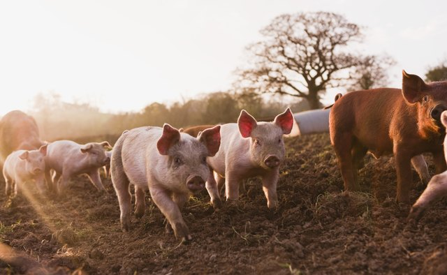 Globally, the domestic pig is one of the most important sources of meat for human consumption.