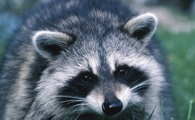 A raccoon can seem like a thief in the night.