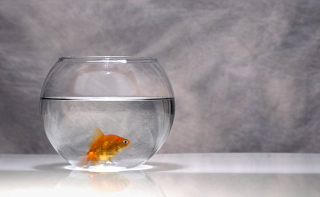 Evidence of goldfish kept for ornamental purposes dates back to the Chinese Sung Dynasty of 960 B.C.