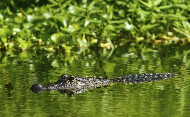 What do you do if you spot an alligator while hiking near water?